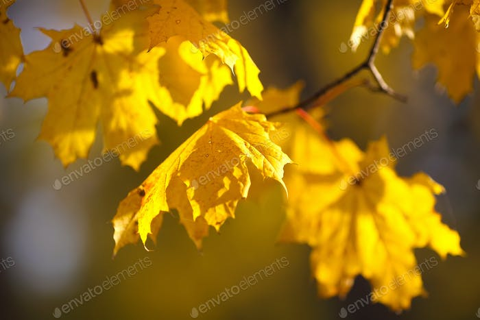 Autumnal maple leaves