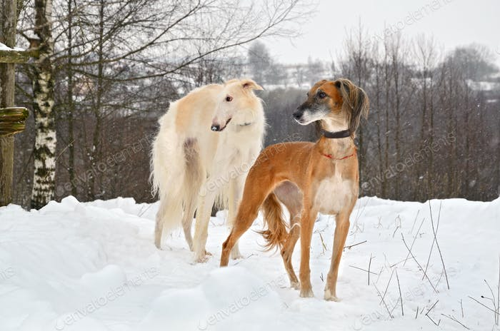 Dogs on snow