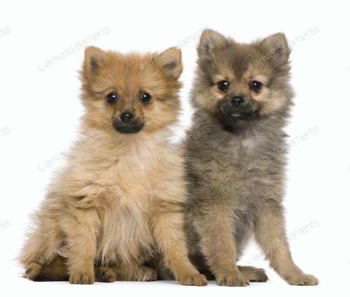 Spitz puppies, 3 months old, sitting against white background