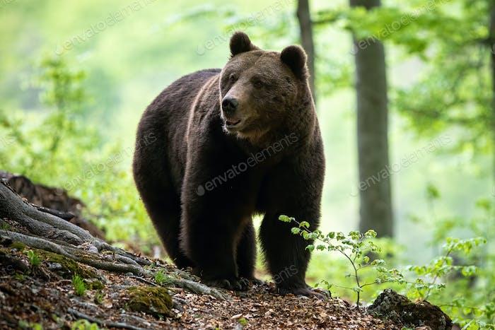 Großer brauner Bär erwachsener männlicher nähert sich im Sommerwald aus der Vorderansicht