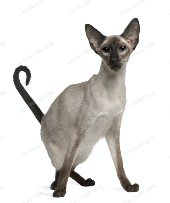 Balinese cat, 5 years old, sitting in front of white background