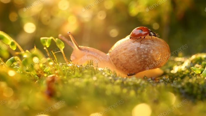 Close-up wildlife of a snail and ladybug in the sunset sunlight.