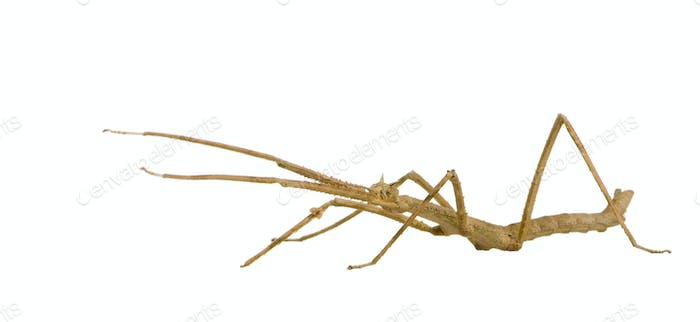 stick insect, Phasmatodea - Medauroidea extradentata