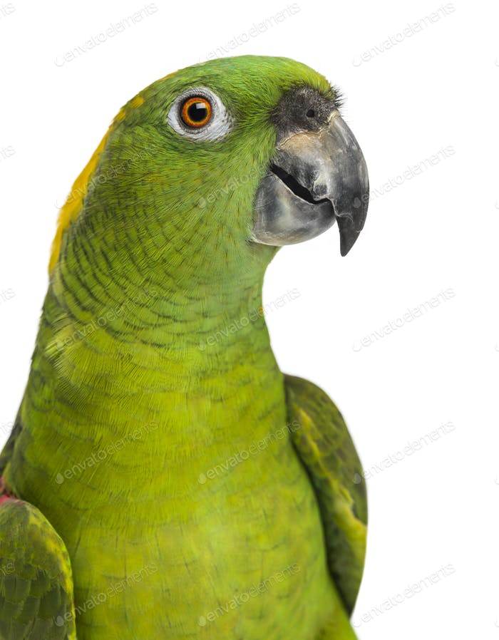 headshot of a Yellow-naped parrot (6 years old), isolated on white