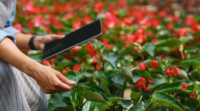 Digital control in orangery. Girl in apron with modern tablet cares for red flowers in greenhouse