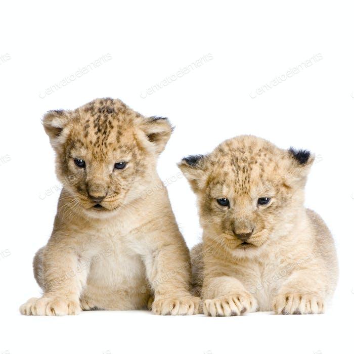 zwei Löwenjungen