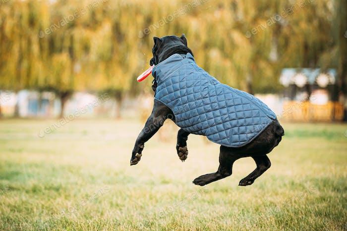 Active Black Cane Corso Hund Spiel Laufen Springen mit Platte Spielzeug Outdoor In Park. Hund trägt in Warm