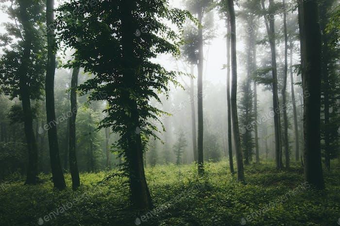 Green dark forest with fog