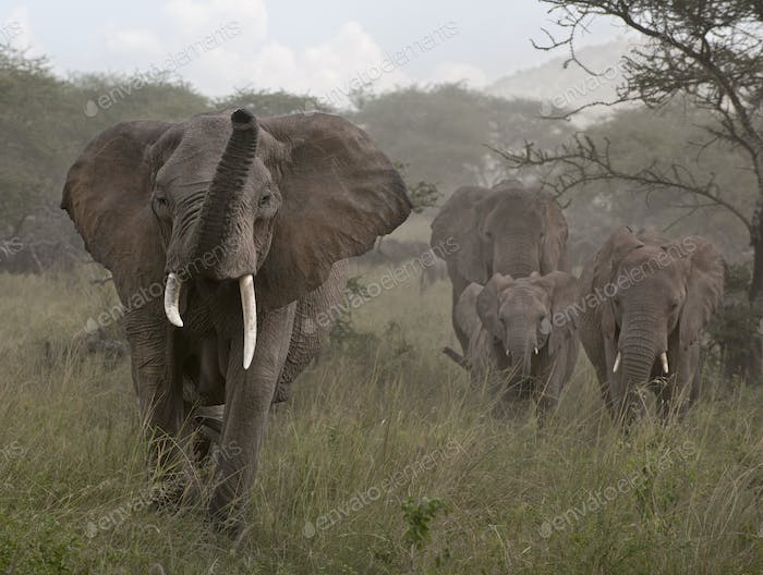 Elephants at the Serengeti National Park, Tanzania, Africa
