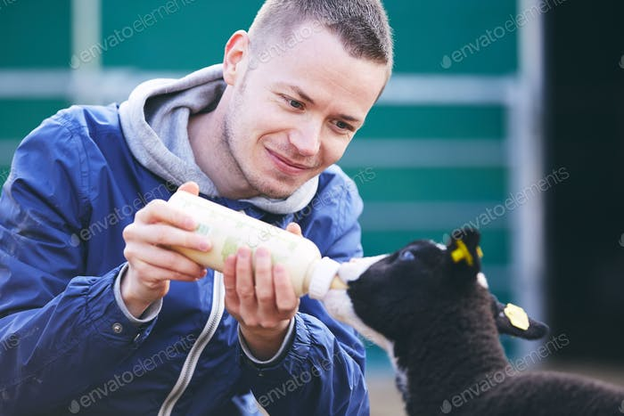 Feeding little lamb