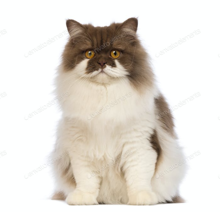 British Longhair, 10 months old, sitting and looking at the camera in front of white background