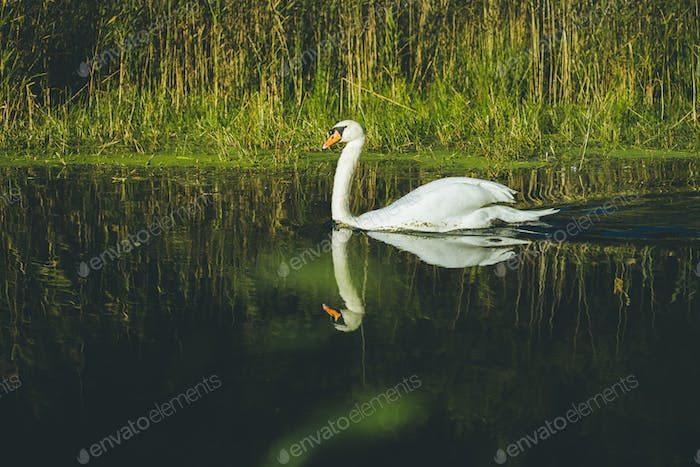 White swan on lake in spring forest. White swan swimming in pond, side view