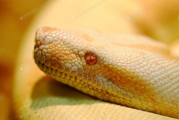 Albino Indian python