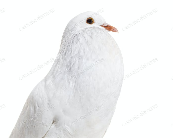 Ghent Cropper, a fancy pigeon, against white background