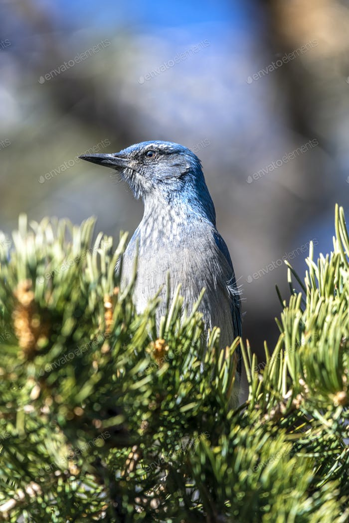 A blue scrub jay bird in tree