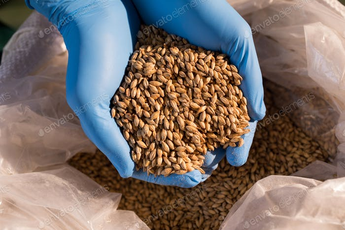 Hands of male worker examining barley at warehouse