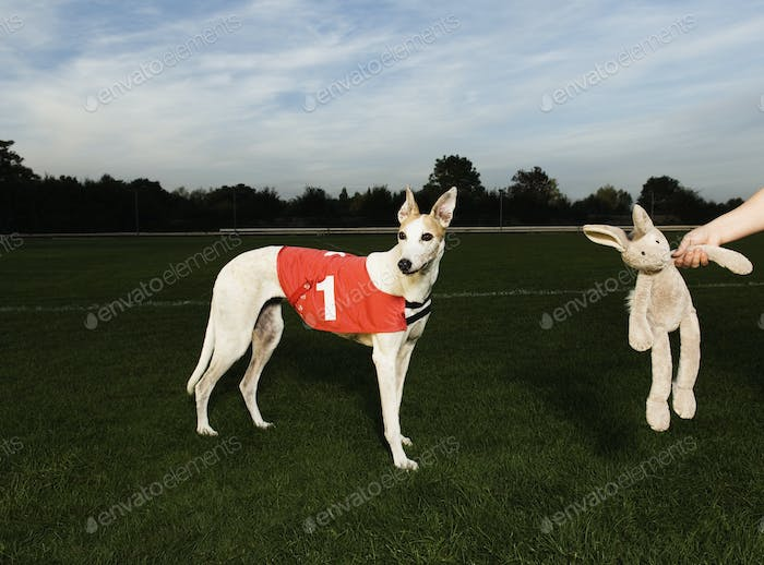 White greyhound wearing red bib with number one, standing on racetrack, a toy rabbit dangling from a