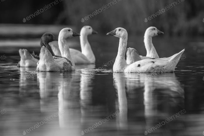 Group of aware white geese