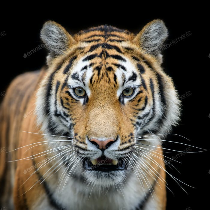 Close-up detail portrait of big Siberian or Amur tiger on black background
