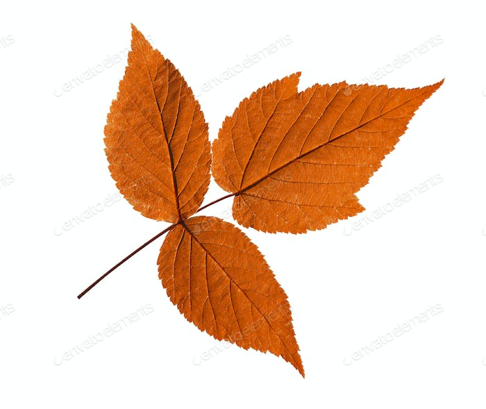 Ash Closeup Leaf Isolated On White Background.