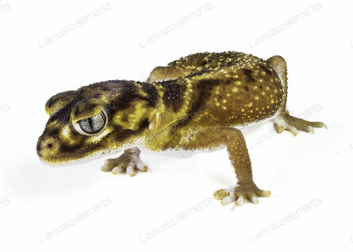 Smooth Knob Tail Gecko
