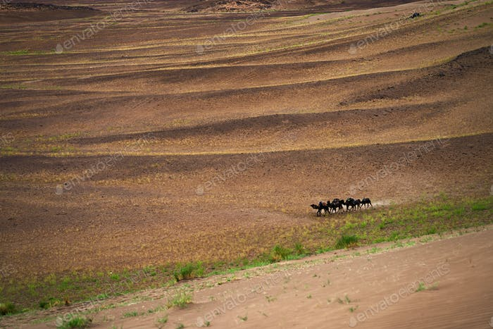 Herd of camels in Sahara