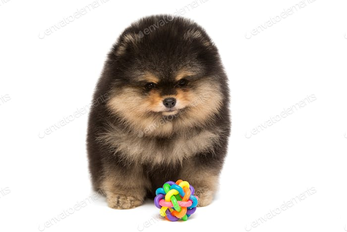Black Pomeranian puppy and ball