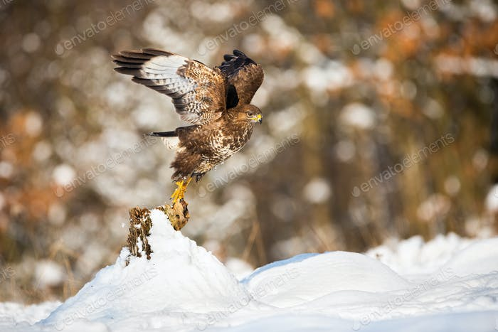Buzzard taking of from a tree stump covered with snow in winter nature