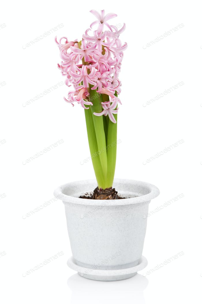 hyacinth flower in pot isolated