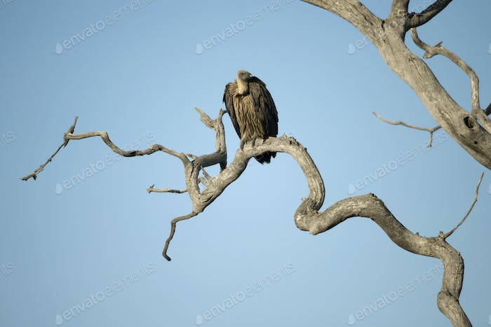 Vulture perched in tree in the Serengeti, Tanzania, Africa
