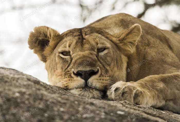 Close-up of a lioness resting on rock, Serengeti, Tanzania, Africa