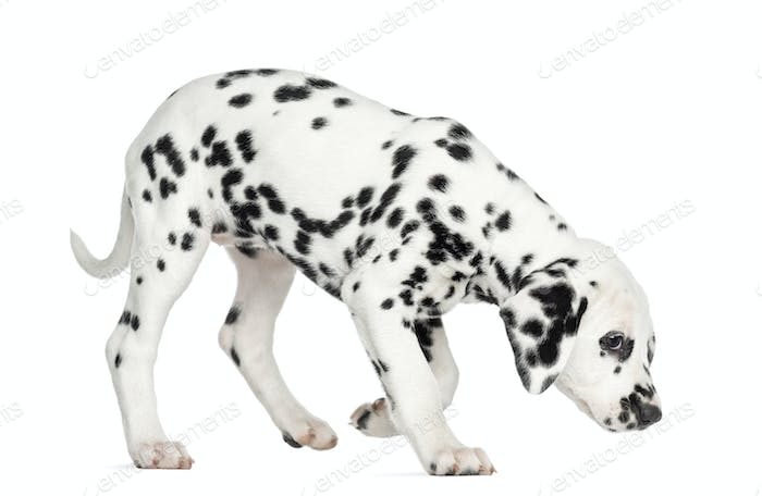 Side view of a Dalmatian puppy standing, sniffing the floor, isolated on white