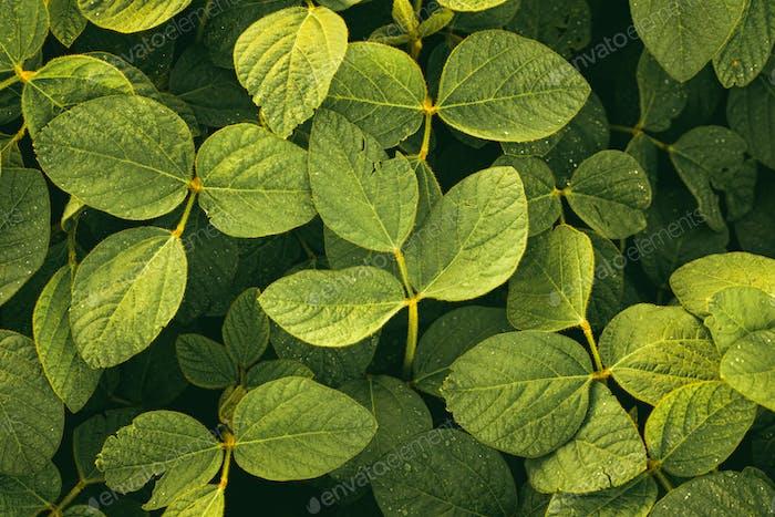 Grüne Blätter der Sojabohnenpflanze, landwirtschaftliche Landschaft
