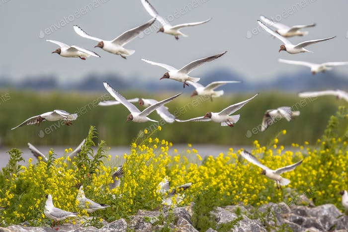 Breeding colony of black headed gull