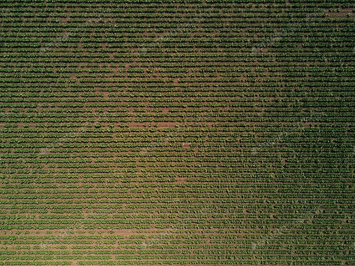 Aerial view of cultivated sugar beet field