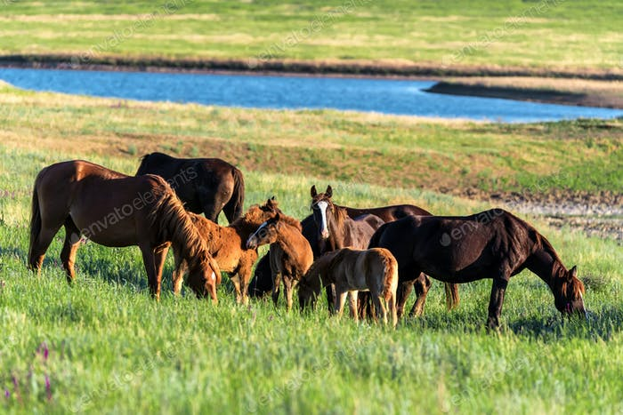 Wild horses and foals graze in the sunlit meadow