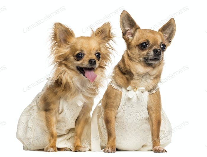 Two Chihuahua wearing dresses, 4 and 6 years old, isolated on white
