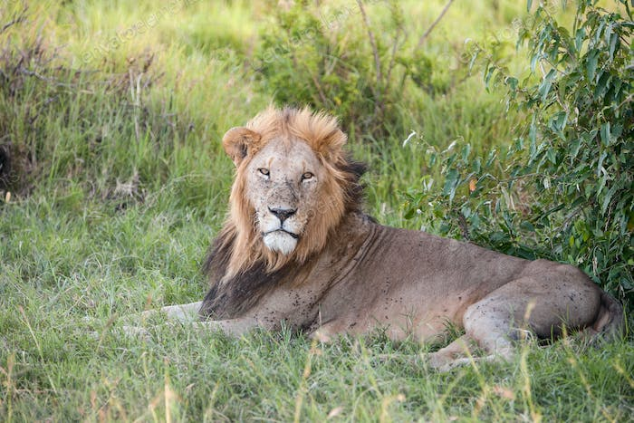 lion close up against green grass background