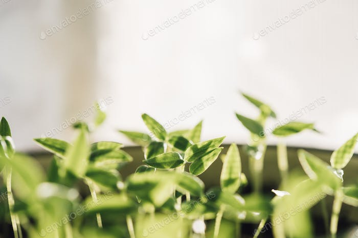 Young Sprouts With Green Leaf Or Leaves Growing From Soil. Sprin