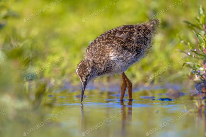 Black-tailed Godwit wader bird chick hunting