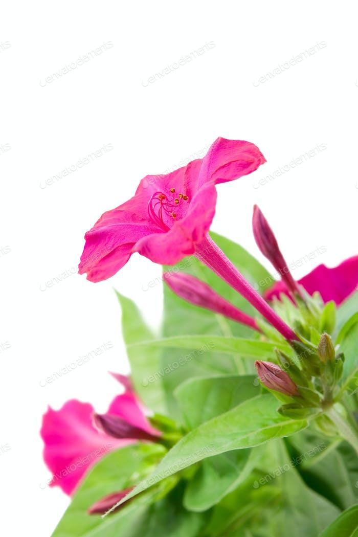 Flower Mirabilis