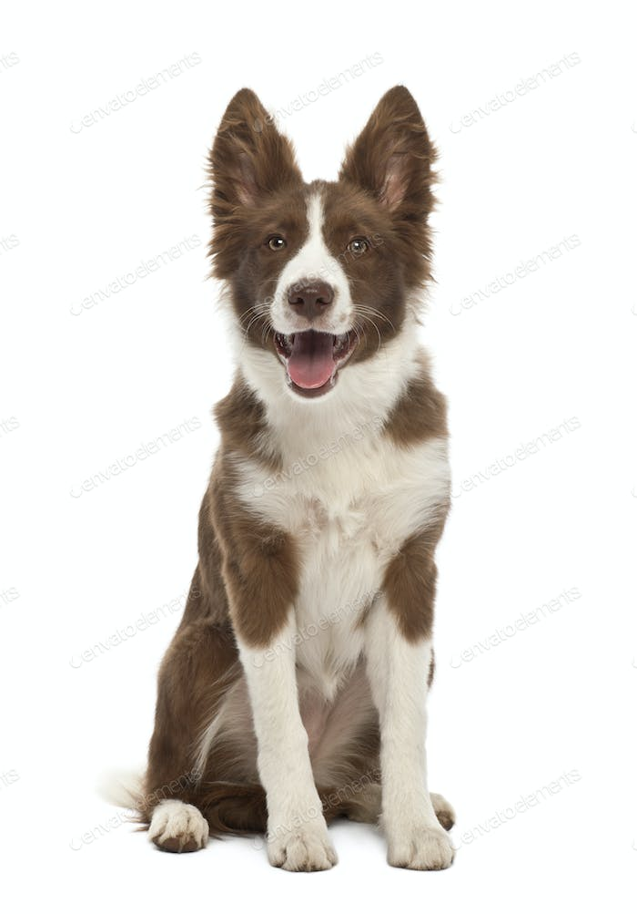 Border Collie puppy, 5 months old, sitting against white background