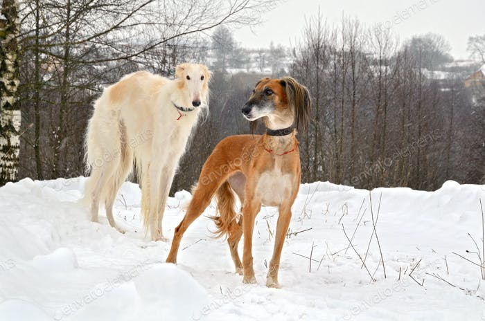 Hunting dogs on snow