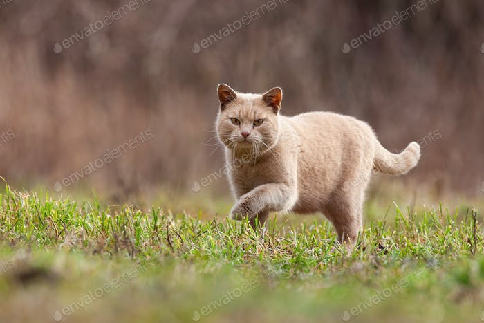 Domestic cat stalking prey in garden with copy space
