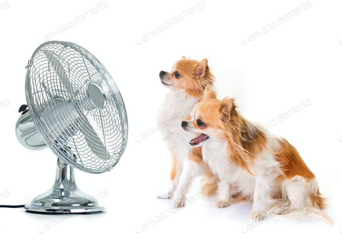 chihuahuas and fan