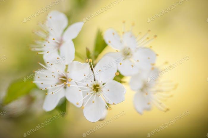 Zierkirschblüte in voller Blüte