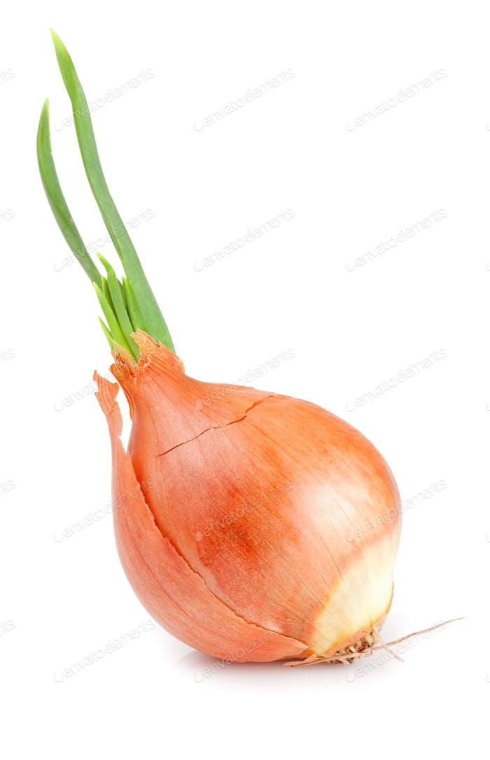 Sprouting onion isolated on a white background