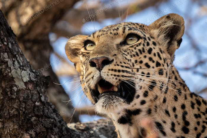 The head of a leopard, Panthera pardus, in a tree, mouth open, looking out of frame