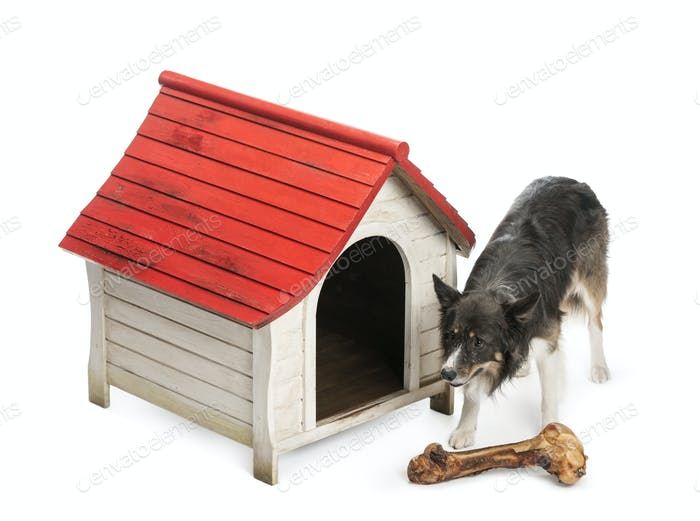 High angle of a Border Collie with huge bone in front of its kennel against white background