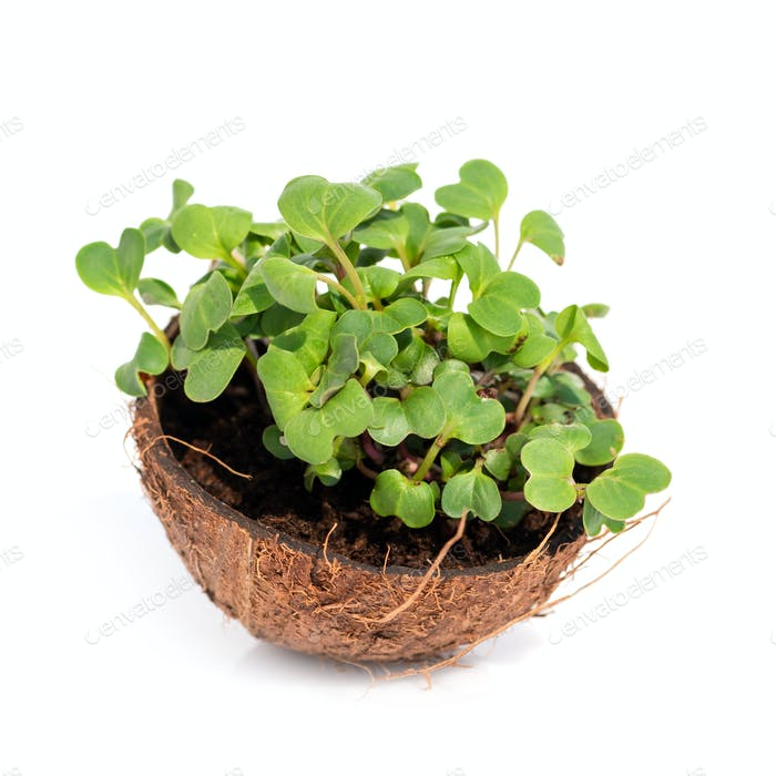 Microgreen sprouts raw sprouts, healthy eating concept in coconu